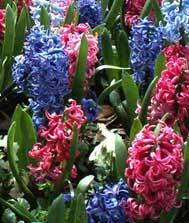 Giacinto acquario azzurro for Pianta ornamentale con fiori a grappolo profumatissimi