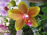 Mini_orchidea_giallo-verde