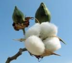 Pianta del cotone
