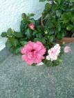 hibiscus_doppi-AcquarioAzzurro©