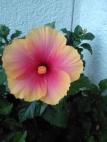 hibiscus_variegato-AcquarioAzzurro©