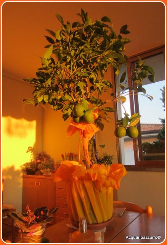 """Arancio Washington"""" - Citrus sinesis. -Acquario azzurro©"""