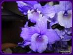 orchidea_blù - Acquario azzurro©