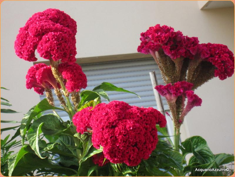 semi fiori celosia cresta di gallo nana in mix