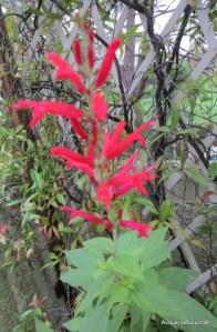 Salvia Ananas©