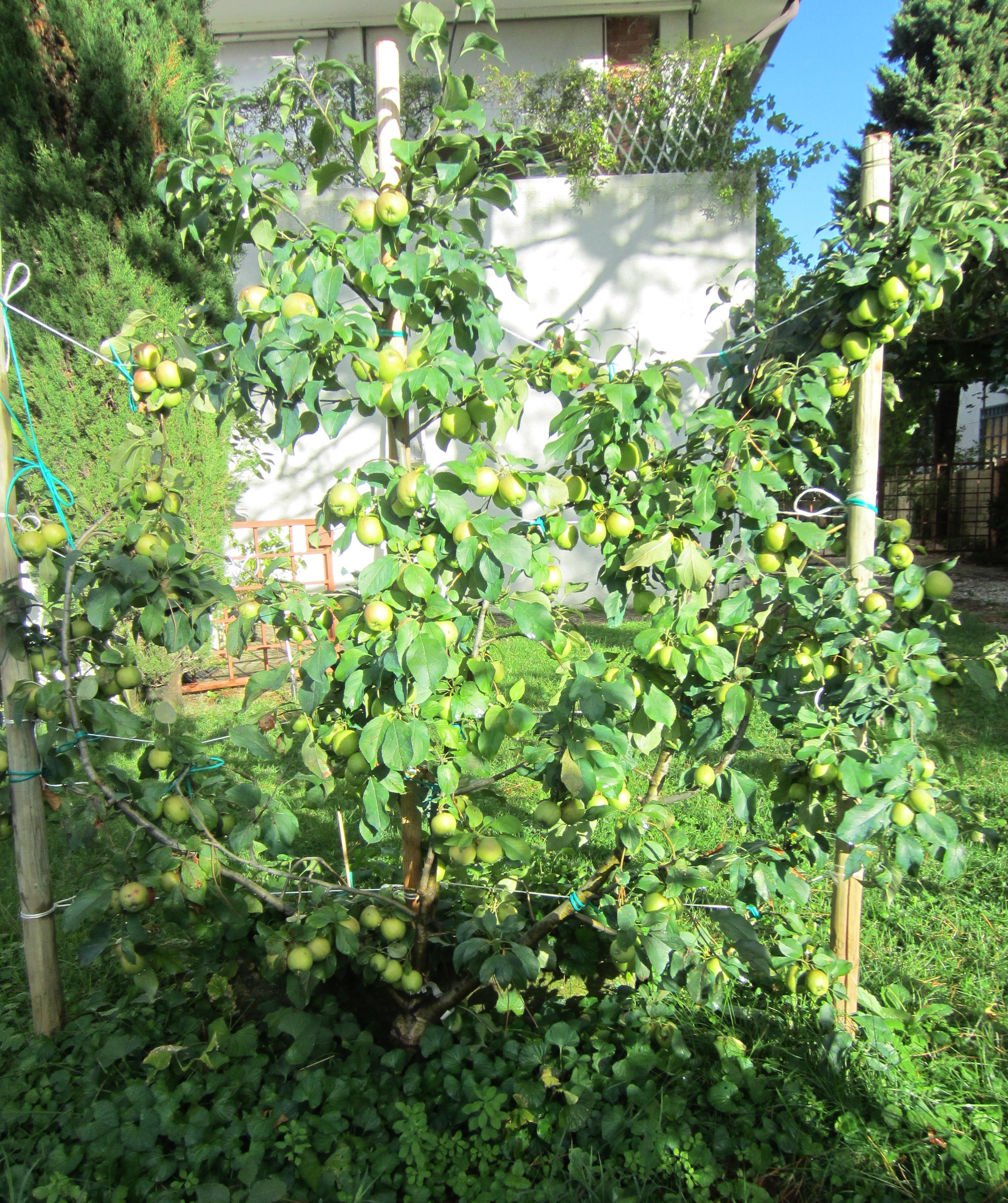 Alberi da frutto acquario azzurro for Piccoli alberi da frutto