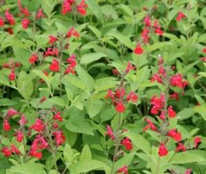 Salvia Ananas-©