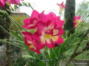 Fiore della fresia-AcquarioAzzurro©