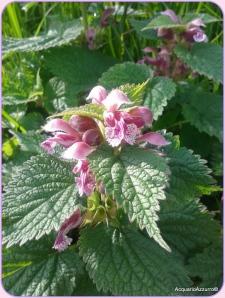 Fiore della falsa ortica-AcquarioAzzurro©
