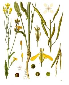 Ciclo vitale della colza o brassica