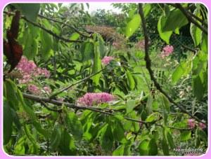 pianta della buddleja  o albero delle farfalle2014-AcquarioAzzurro©