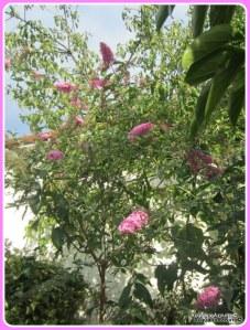 pianta della buddleja  o arbusto delle farfalle2014-AcquarioAzzurro©