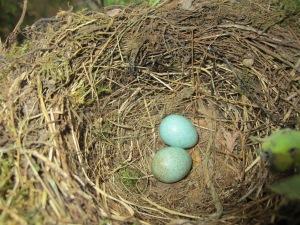 2° uova di merlo