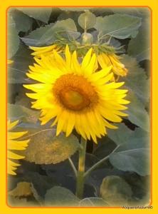 fiore di girasole-AcquarioAzzurro©