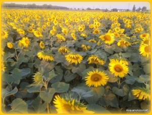 girasoli verso il sole-AcquarioAzzurro©