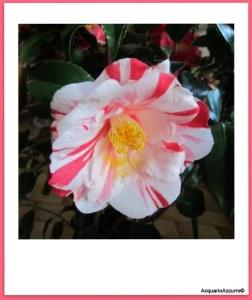 fiore della camelia variegata