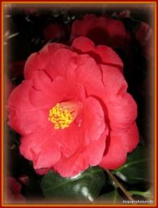 fiore della camelia rossa