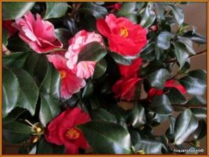 fiori della camelia rossa e variegata