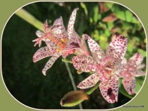 specie di orchidea 006
