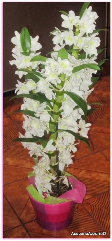 Fiori Orchidea Bianchi.Fiori Bianchi Acquario Azzurro