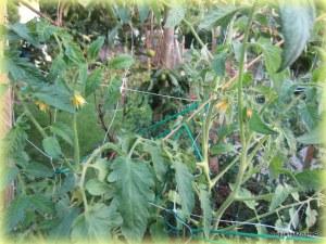 Pomodoro antico in fiore